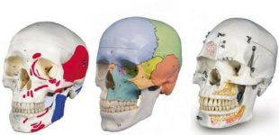 cranio-umano-310x150