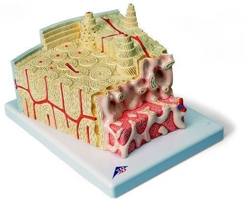 3B MICROanatomy Struttura dell'osso - ingrandito 80 volte A79