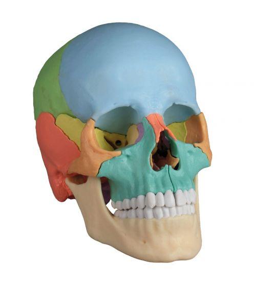 Cranio articolato - Versione didattica in 22 parti R4708 Erler Zimmer