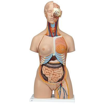 Torso umano bisessuato, modello di lusso, con schiena aperta, in 28 parti B35