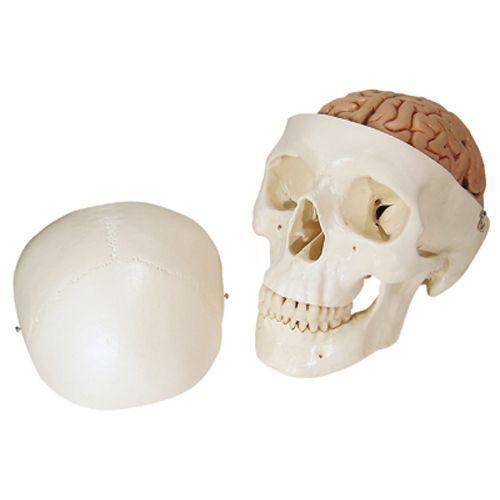 Cranio, modello classico, con cervello, in 8 parti A20/9