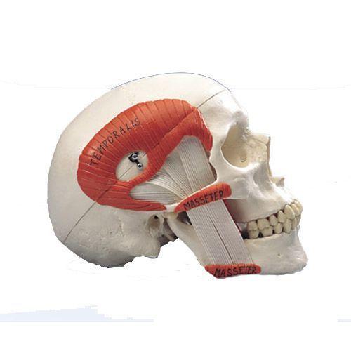 Modello classico di cranio con muscolatura masticatoria, in 2 parti A24