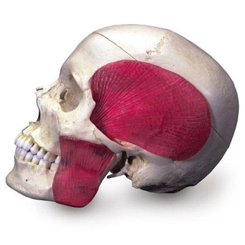 BONElike Cranio - cranio combinato (trasparente + osseo), in 8 parti A282