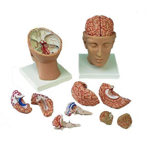 Modello del Cervello con arterie in 8 parti, con cranio C25
