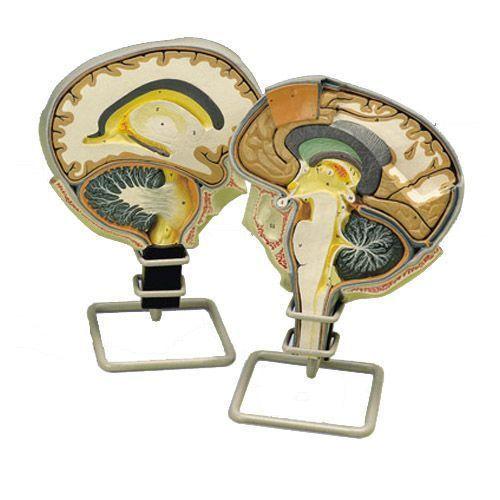 Modello di Sezione del cervello umano W19026