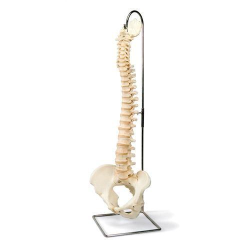 Modello di Colonna vertebrale BONElike A794