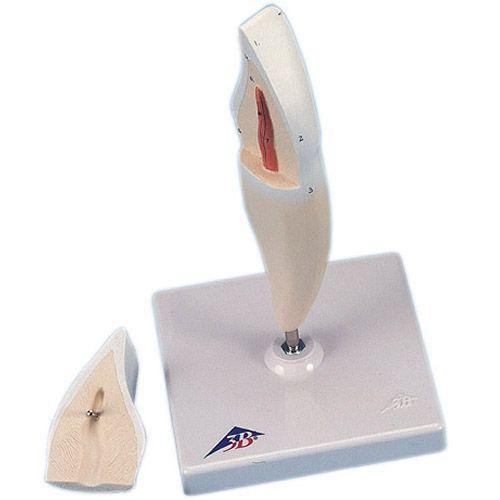 Dente incisivo inferiore, in 2 parti D10/1