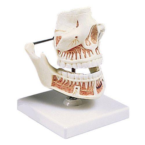 Modello di Dentatura umana di un adulto VE281