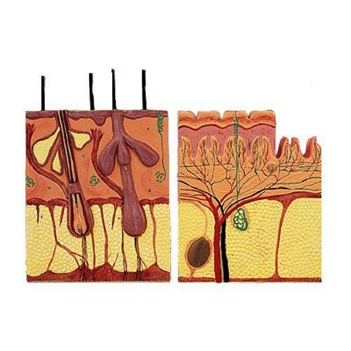 Sezione semplice della pelle, in 2 parti T12012