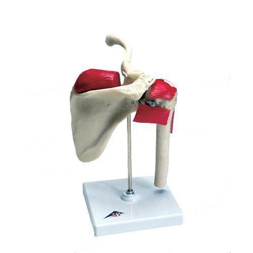 Anatomia della spalla degli sportivi W47002
