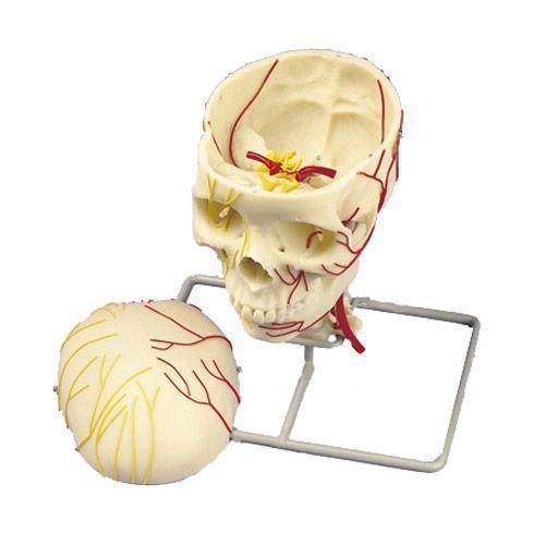 Cranio neurovascolare W19018