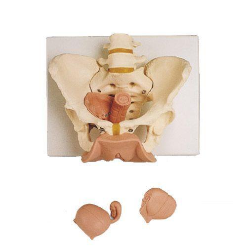Scheletro di bacino femminile con organi genitali, in 3 parti L31