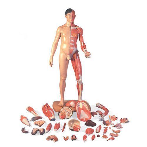 Figura bisessuata con muscoli a grandezza naturale, asiatica, in 39 parti B52