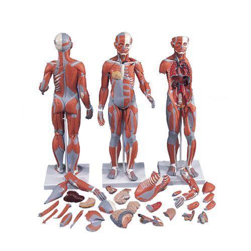Figura umana con muscoli, femminile, in 21 parti B56