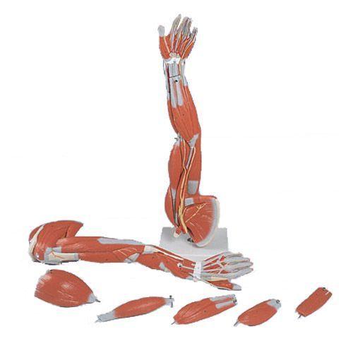 Braccio con muscoli, in 6 parti M10