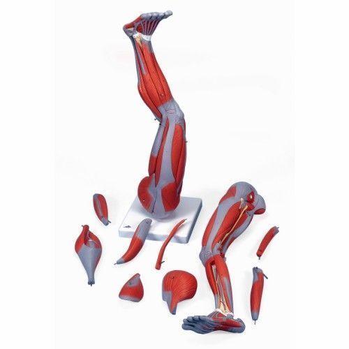 Gamba con muscoli, in 9 parti M20