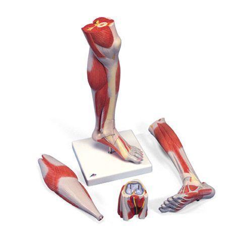 Modello di parte inferiore della gamba con muscoli, modello di lusso, in 3 parti M22