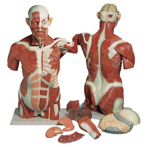 Modello di Torso umano con muscoli, a grandezza naturale, in 27 parti VA16