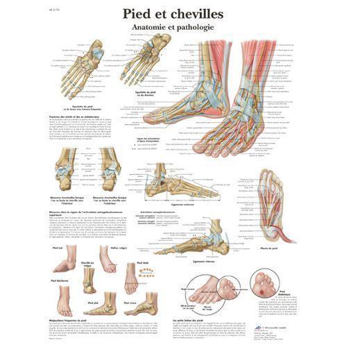 Tavola anatomica Piedi e Caviglie - Anatomia e patologie VR2176L 3B Scientific