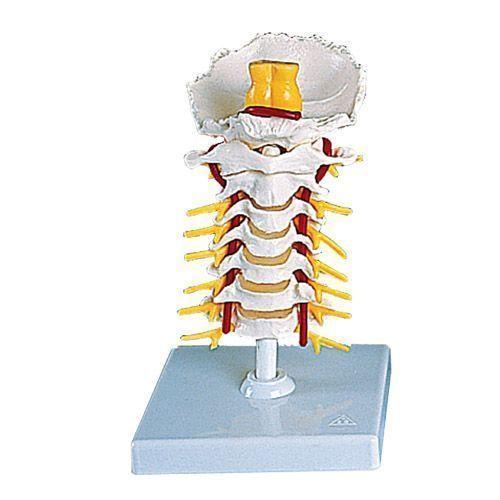 Modello di Colonna vertebrale cervicale A72