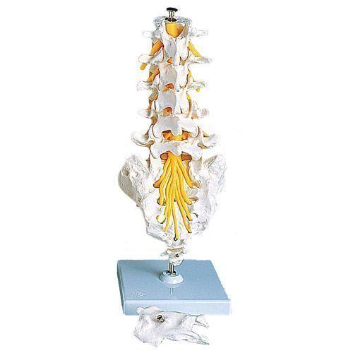 Modello di Colonna vertebrale lombare A74
