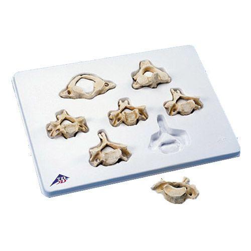 Set BONElike con 7 vertebre cervicali A790