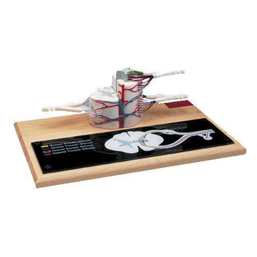 Modello di midollo spinale, ingrandito 6 volte, W42505