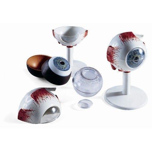 Modello dell' Occhio, ingrandito 3 volte, in 6 parti F15