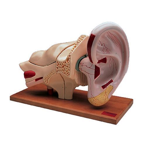 Modello di orecchio ingrandito 5 volte, in 8 parti, W42514