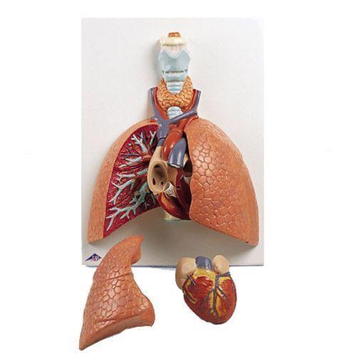 Polmone con laringe, in 5 partis VC243