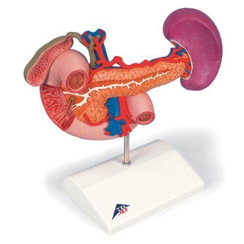 Modello degli organi posteriori della parte superiore del ventre K22/2