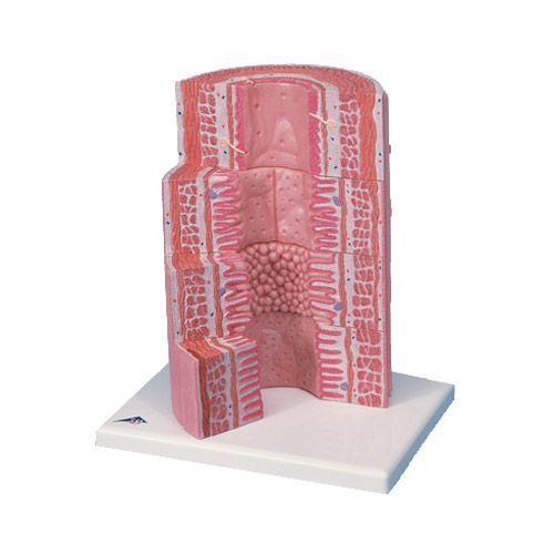 Modello del Tubo digerente 3B MicroAnatomy - Ingrandito 20 volte K23