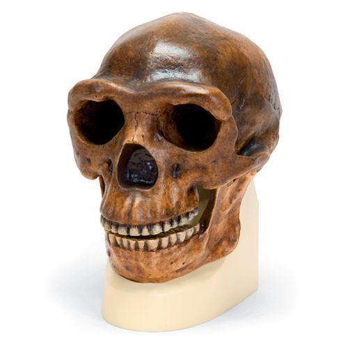 Modello di cranio antropologico di Sinantropo,  VP750 / 1