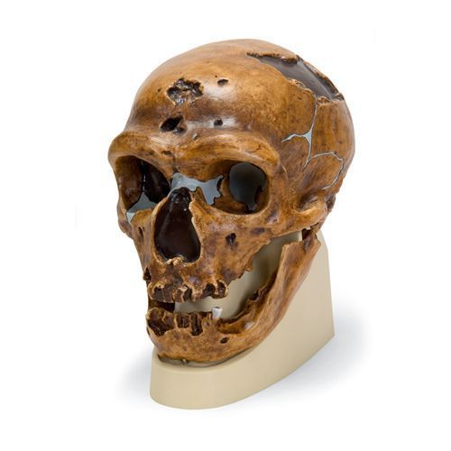 Modello di cranio antropologico - La Chapelle-aux-Saints VP751/1