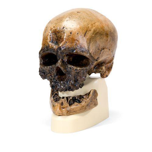 Modello di cranio antropologico - Cro-Magnon VP752/1