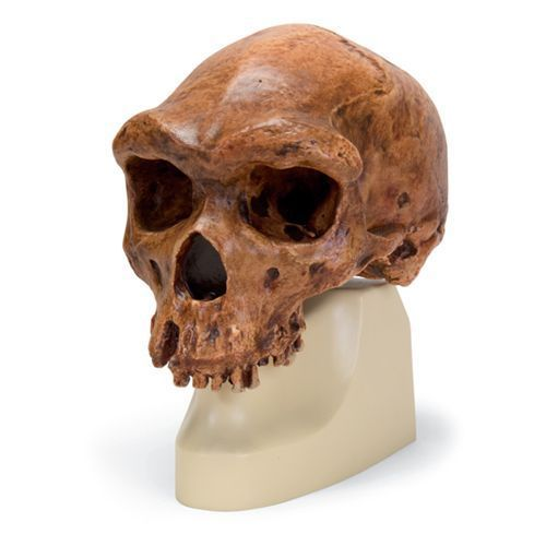 Modello di cranio antropologico - Broken Hill ou Kabwe VP754/1