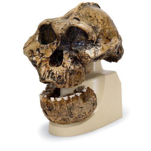 Cranio antropologico - KNM-ER 406, Omo L. 7a-125 VP755/1