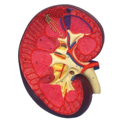 Sezione del rene, ingrandita 3 volte, K10