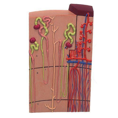 Modello di Nefrone con vasi sanguigni, ingrandito 120 volte, K10/1