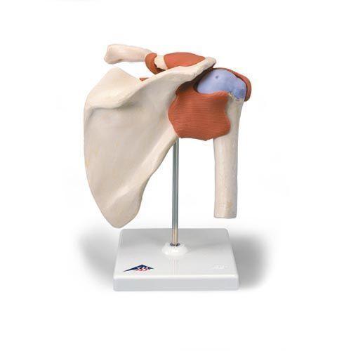 Modello funzionale di lusso dell'articolazione della spalla A80/1