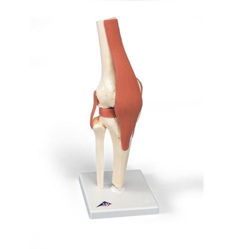 Modello funzionale di lusso dell'articolazione del ginocchio A82/1