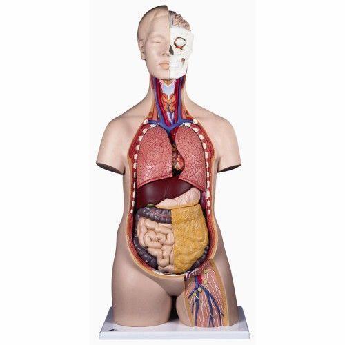 Modello di Torso umano classico, asessuato, in 12 parti B09