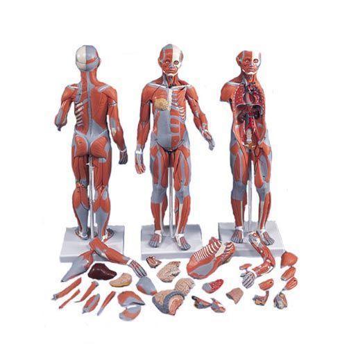 Figura bisessuata con muscoli e organi interni, in 33 parti B55