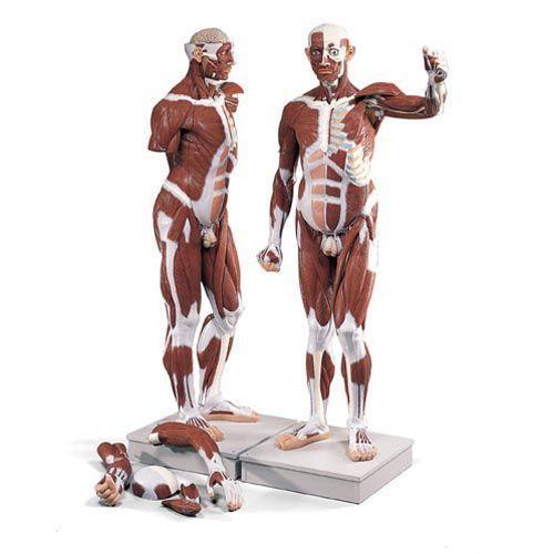 Figura con muscoli a grandezza naturale, in 37 parti VA01