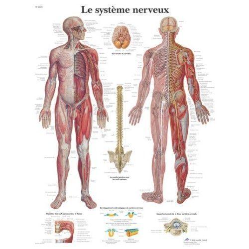 Tavola anatomico Il sistema nervoso VR2620L