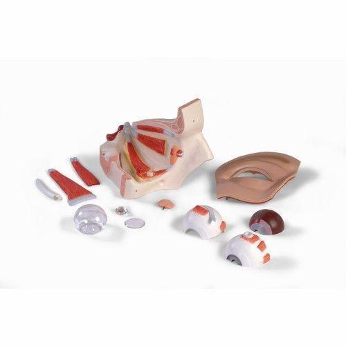 Modello dell Occhio, ingrandito 5 volte, in 12 parti VJ500A