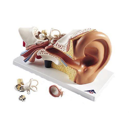Modello anatomico dell' orecchio, ingrandito 3 volte, in 4 parti E10