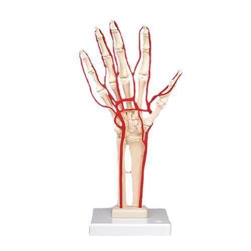 Scheletro della mano con arterie M17
