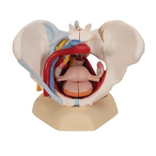 Modello di Pelvi femminile con legamenti, vasi, nervi, pavimento pelvico e organi, in 6 parti H20/4
