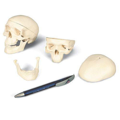 Modello di cranio in miniatura, in 3 parti A18/15